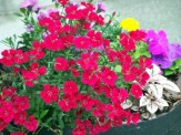 red dianthus in container