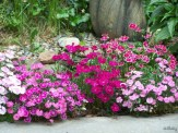 small flowerbed filled with dianthus