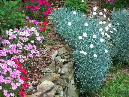 dianthus flowers in rock wall bed