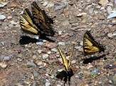 five swallowtails