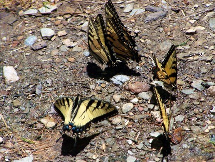yellow swallowtails