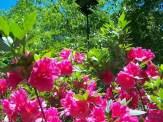 semi-double blossoms