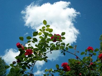Blaze Climbing rose in bloom