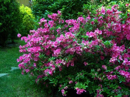 bright pink flowers and evergreen foliage