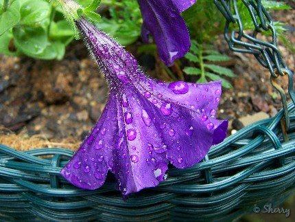 petunia in the rain