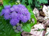 ageratum and pink polka dot plant