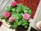 zinnia in container