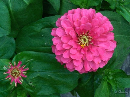 zinnia flower and bud