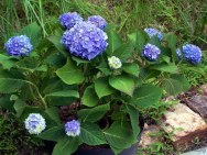 Endless Summer hydrangea in a container