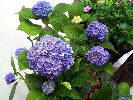 Endless Summer blue hydrangea