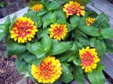 bicolor zinnias in a container
