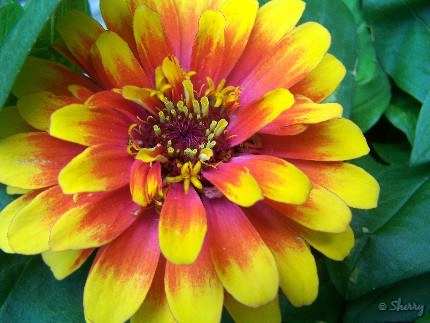 closeup of zinnia flower