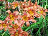 tiger lilies