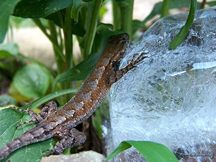 lizard on ice
