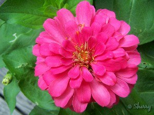 zinnia fully open