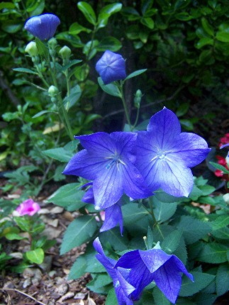 Blue balloon flowers sherrys place hot air balloon buds and flowers mightylinksfo