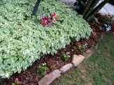 bishops weed contained, begonias along edge