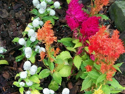 celosia and white gomphrena