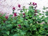 clump of bee balm plants