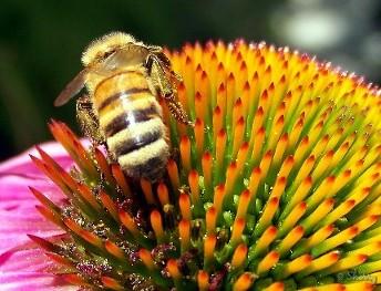 honeybee on a coneflower