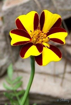harlequin marigold