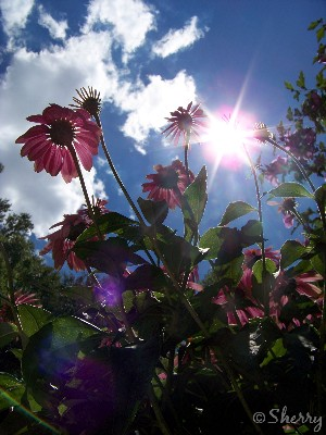 pink coneflowers, sunshine, and deep blue and white sky