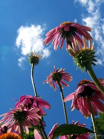 pink coneflowers and blue sky
