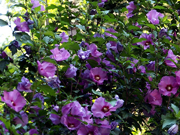 Rose of Sharon shrubs Sherrys Place