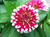 zinnias in a container