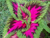red and green coleus