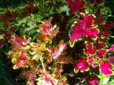 various colors of coleus
