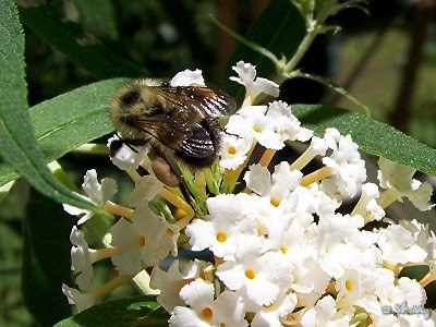 bumblebee on white butterfly bush