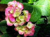 pink hydrangea in a container