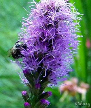 bumble bee on liatris flower