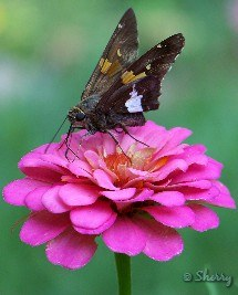 skipper and pink zinnia