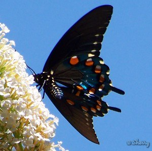 spicebush swallowtail and butterfly bush