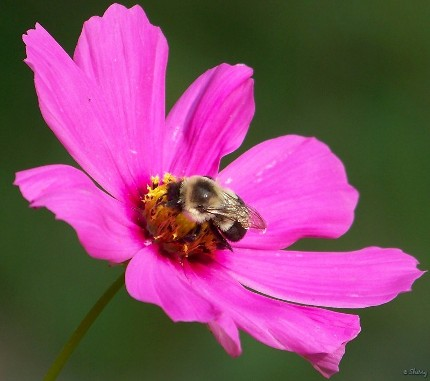 Cosmos and bumble bee, click to enlarge