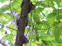 squirrel in a hickory tree