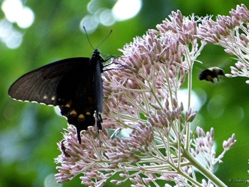 joe pye weed, butterfly, and bumble bee