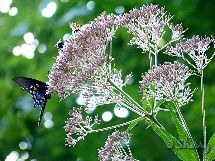 joe pye weed, bumble bee and butterfly