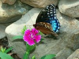 Diana Fritillary on dianthus flower