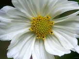 close up of white cosmos flower