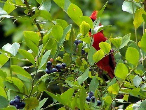 cardinal peeking at me