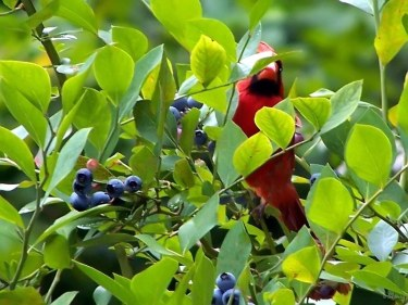 cardinal hiding in the blueberry bush