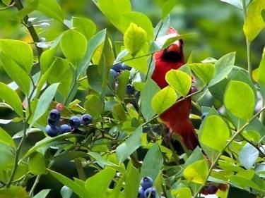 cardinal hiding in the blueberry bush