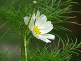 white cosmos and foliage