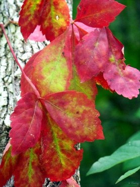 closeup of leaves of virgina creeper vine
