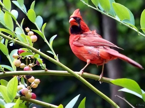 cardinal on the blueberry bush