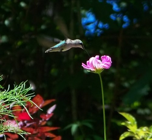 hummingbird and cosmos flower