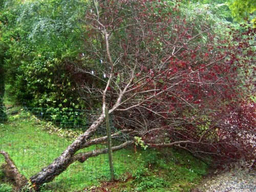 plum tree fallen after heavy rains